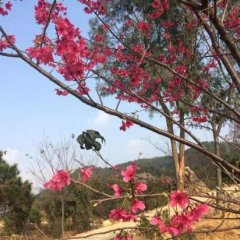 Отель Fogang Hemingzhou Sakura Hot Spring Resort фото 12