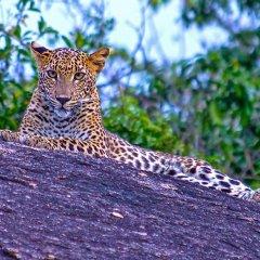 Отель Yala Leopard Paradise Safari фото 5
