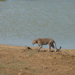 Отель Yala Leopard Paradise Safari