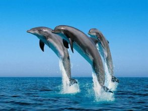 Racing With Glory Dolphins